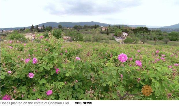 macarose, amorino, roses, roses trend, avocado roses, rose gold, roses